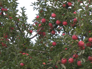 apples_on_tree