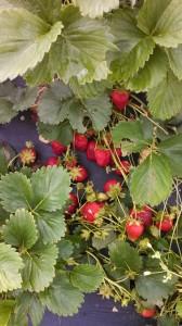 strawberry unpicked